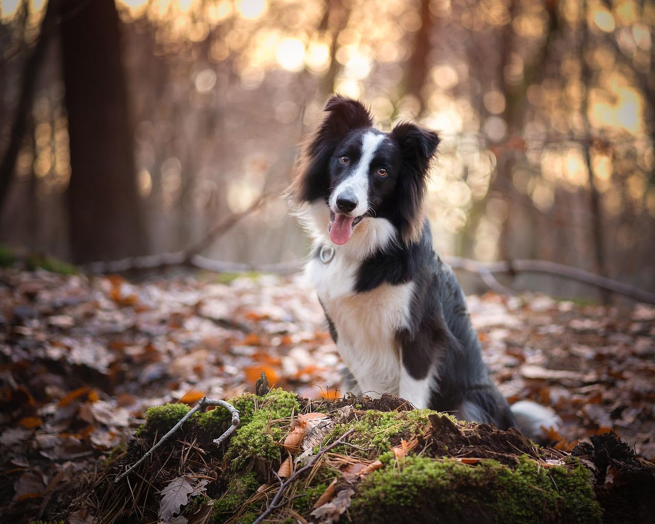Historien bag hyrdehunden Border Collie